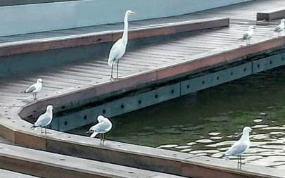 Pelican egret