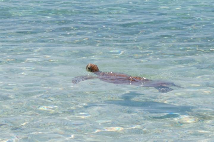 Green turtle 6